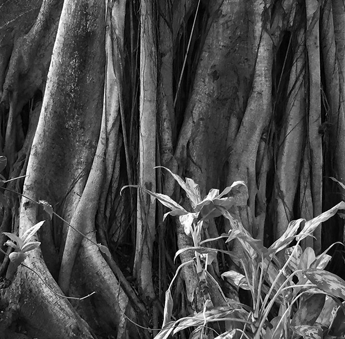 /product//rubber-tree-roots-puerto-vallarta/