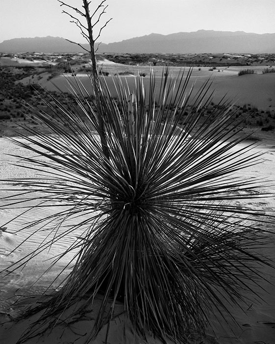 /product//yucca-white-sands-national-monument-new-mexico/